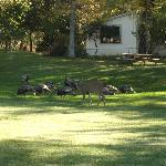 Deer and Turkey outside our room