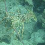 huge lobster seen snorkeling