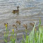 Mama Duck and her brood