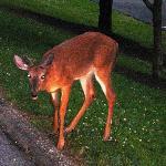 Deer at resort