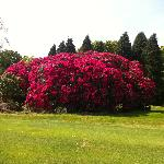 Rhododendron in Kerry