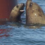 Endangered Stellar Sea Lions