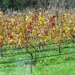 vines ...