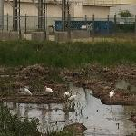 white ibises w/ water treatment plant graff in bg