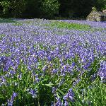 Beautiful Scottish Bluebells