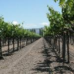 Vineyard Shot 1