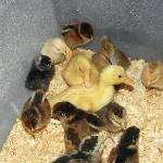 Baby chickens and ducks