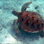 Lankayan Island - Swimming with turtle