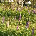 lupins - cabins in distance