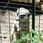 Meerkat looking out through the fence.