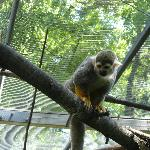 Squirrel Monkey hanging aroung in the trees.