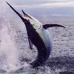 Black Marlin fighting hard