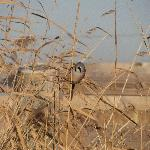 Bearded reedling-an elusive reedbed bird.