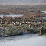 A flock of ducks-Wigeon, Teal, mallard and Gadwall