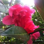 Rowallane flowers