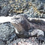 Marine iguana basking at playa del amour on Santa Cruz