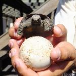 Baby land tortoise with egg