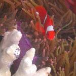Many varieties of Clown and Anemone fish, House Reef