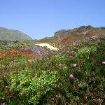 The path meandering through the carpet of flowers at Garrapata.