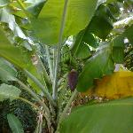 banana tree on island