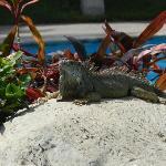pool lizard
