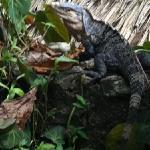 iguana on the pool