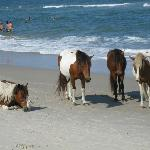 Assateague Island, wild horses.