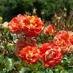 some of the beautiful roses you can admire