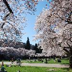 Spring cherry trees
