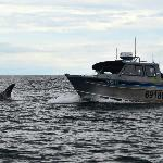 Orcas playing in boat's bow wake