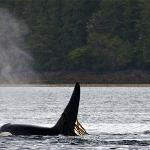 Orca whales swim by Waterfall Resort