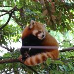 Red Panda at Ueno zoo