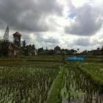 rice fields next to resort