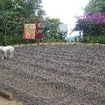 coffee field at a farm in Munduk (the beans are drying)