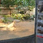Leguan im Vivarium