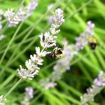 Bees on the lavender plants outside