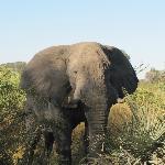 Chitabe Elephant