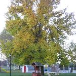 Maple tree in front