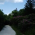 walkway and flowers in the rhododendron gardens