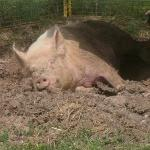 Slumbering hog