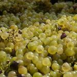 2011 Chardonnay Grapes From Miles Vineyard