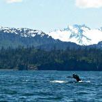 Humpback whale in Kachemak bay 2012
