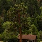 Beautiful Ponderosa Pine