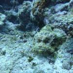 grumpy scorpion fish