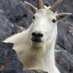 Brown_Goat87