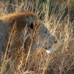 mighty lion in the grass