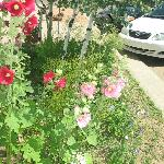 Hollyhocks in front of Hotel Ordway