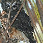 Boobook Owl near Koala walk