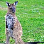 Joey near Koala Walk