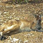 Resting Kangaroo at koala walk area